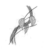 ayahuasca-vine